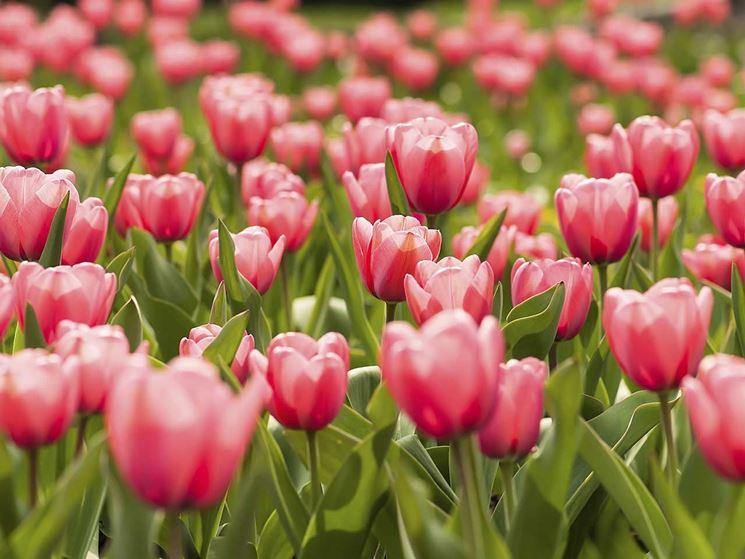 La storia del tulipano: origini, leggende e diffusione